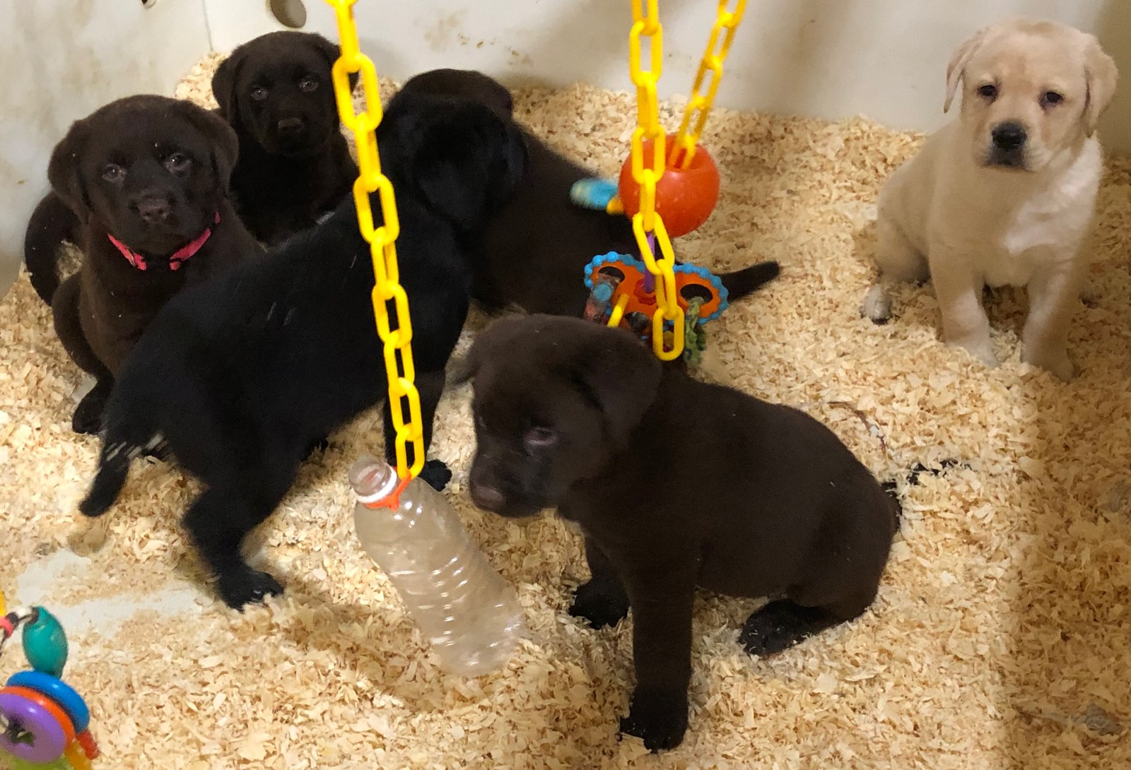 Chocolate, yellow & black puppies