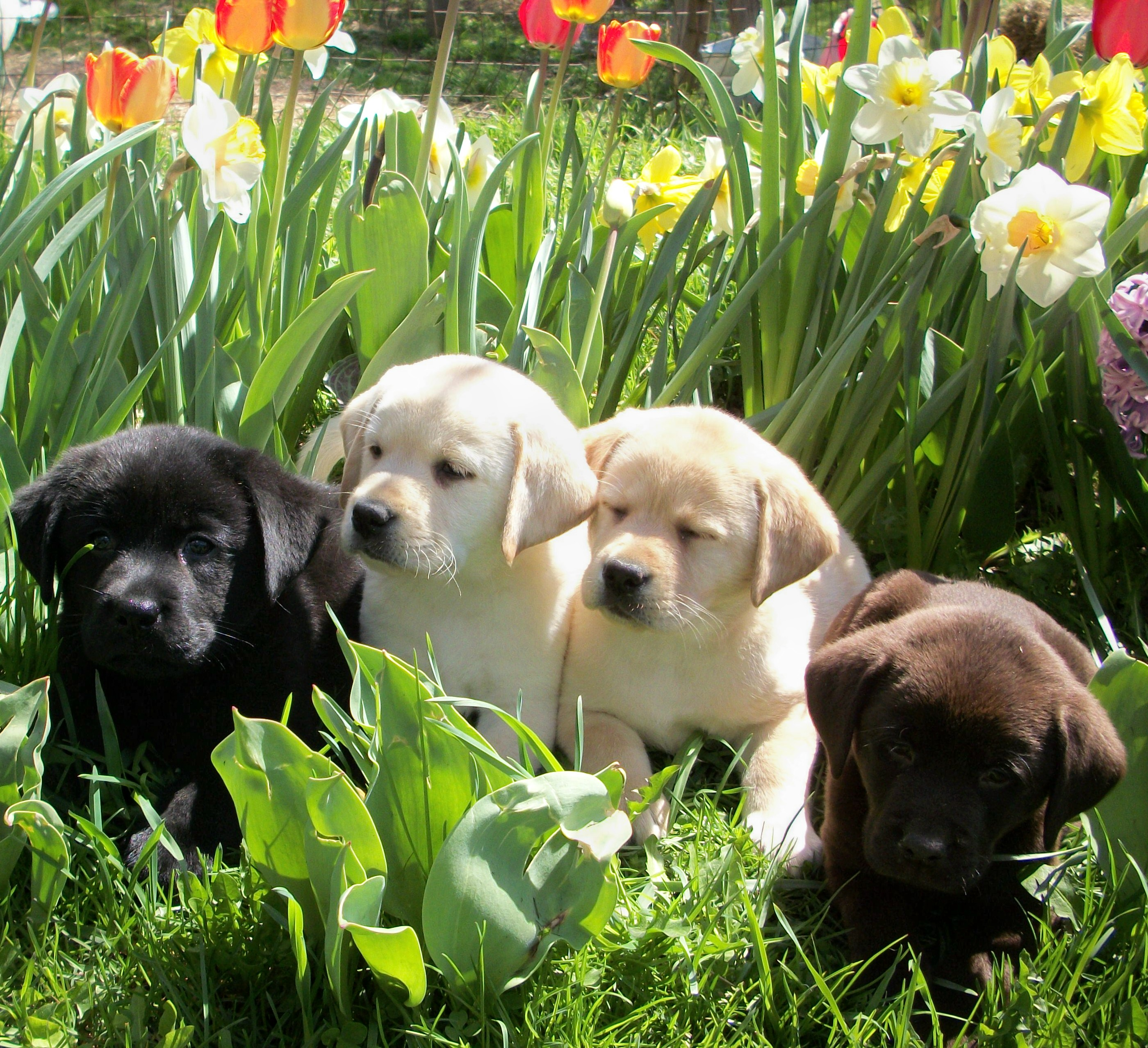 Black, yellow and chocolate puppies
