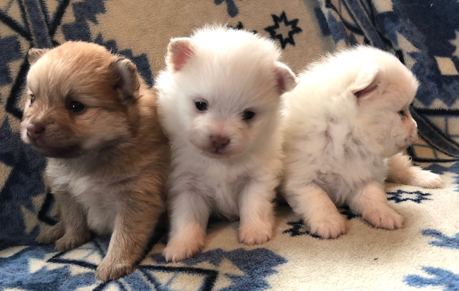 3 liittle Poms