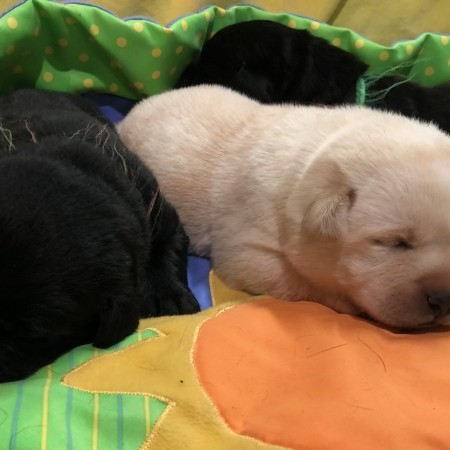 Yellow and Black puppies