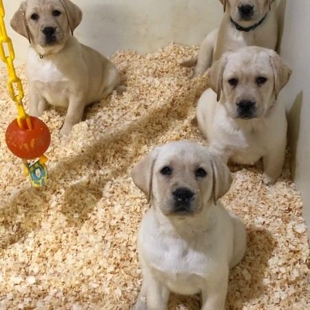 Yellow puppies