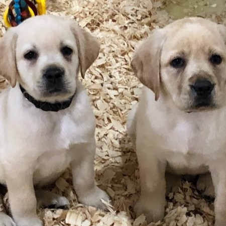 Yellow puppies from Cruize & Sailor