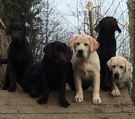 Growing Humehill puppies - the next generation